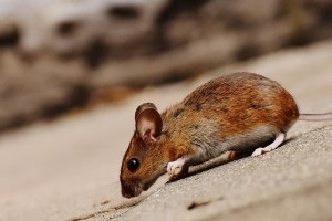 Mouse extermination, Pest Control in Wembley Park, HA9. Call Now 020 8166 9746