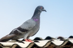 Pigeon Control, Pest Control in Wembley Park, HA9. Call Now 020 8166 9746